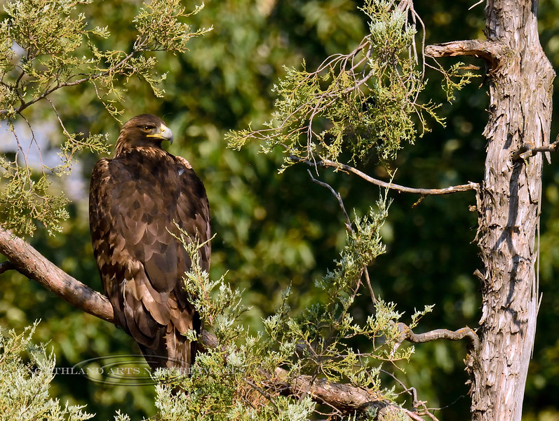 Golden Eagle 2017.9.12#151. Mission Creek, near Charlo Montana.