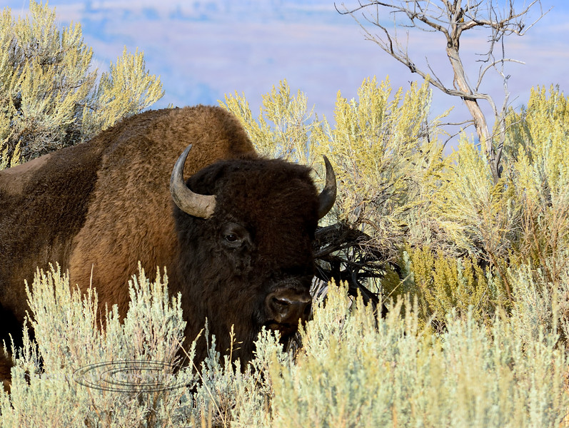Bison, Plains. In Big Sage. Rocky Mtn's. Yellowstone Nat. Park Wyoming. #914.3547.