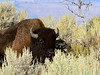 B-Bison, Plains. In Big Sage. Rocky Mtn's. Yellowstone Nat. Park Wyoming. #914.3547.
