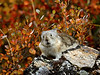 Collared Pika 2017.9.1#471. Savage Canyon, Denali Park Alaska.