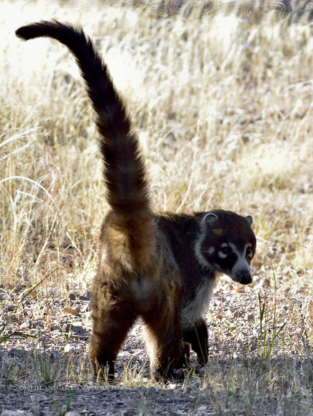 White nosed Coati 2018.3.19#062. Coronado Monument, Arizona.