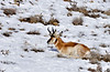 A Pronghorn buck just starting to grow his new horns. Yavapai County Arizona.