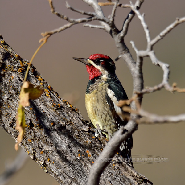 A Red-naped Sapsucker. 2017.11.9#228.4. A redo from a previously poorly developed image. Mingus Mountain, Yavapai County Arizona.