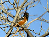Spotted Towhee 2017.11.1#310. A handsome male. Mingus Mountain, Yavapai County Arizona.