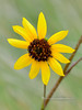 The Common Wild Sunflower 2018.9.19#053. Helianthus annuus. Mingus mountain Arizona.