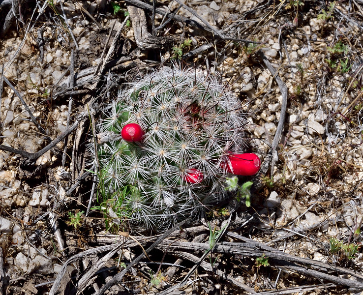 A Mammilaria Nipple Cactus with fresh fruits. 2020.4.15#7393.4. Mammilaria tetrancistra. Newberry Mountains Nevada.