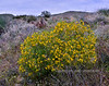 2020.3.25#8906.4. An unkown bush I found recently in Bumble bee Canyon off RT17 in Arizona. If anyone can identify this would you please email me at the address on my home page.