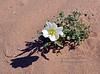 Oenothera deltoides 2020.3.5#736. The bird Cage Evening Primrose. Fortuna Dunes, east of Yuma Arizona.