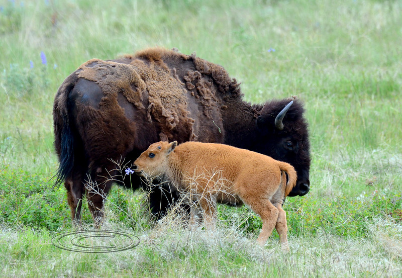 2015.5.15#296.4. A Plains Bison cow well into her moulting with a young calf. In another week she will appear to have bare skin with a bit of a ruff on her hump.Bison Range near Charlo Montana.