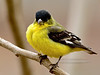 Lesser Goldfinch 2018.3.10#2085. Prescott Valley, Arizona.