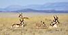 Antelope, Pronghorn. Yavapai County, Arizona. #121.005.