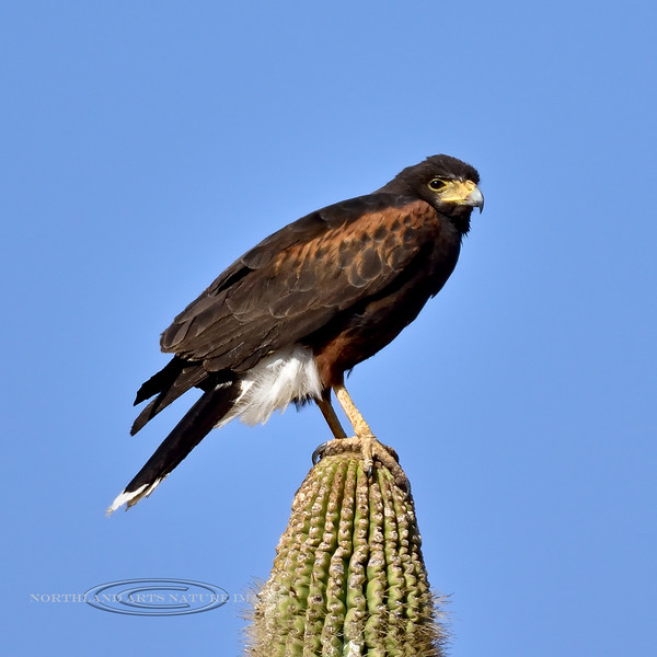 Raptors & allies-Harris's Hawk 2017.12.14#2126. South of Superior, Gila County, Arizona.