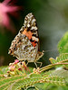I-Butterfly, Vanessa cardui, Painted Lady. Prescott Valley, Arizona. #83.238.