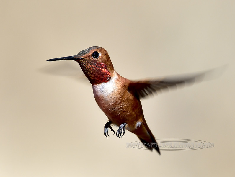 Rufous Hummingbird 2018.3.21#1367. Paton House, Patagonia Arizona.