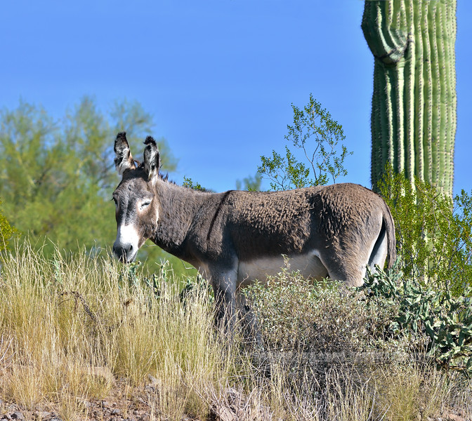 An older Wild Burro that's certainly been a fighter the way his ears are all bitten up. 2021.10.7#5787.3. Lake Pleasant, Arizona.