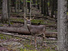 A really good Whitetail buck 2020.9.23#4551.7. A rare chance catching this great buck in the open, but requiring a 3200 ISO to expose in the early am. Penn's Woods, Pennsylvania.