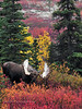 Alaska Moose 2010.9.4#094. A handsome mature bull in great fall color thrashing brush and challenging another bull nearby. Denali Park Alaska.