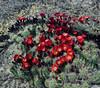 Scarlet Hedgehogs 2021.5.1#6928.4. In the Granite Dells, Yavapai County Arizona.