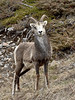 SS-2017.5.16#993. A young Stone ram. Stone Mountain east of Toad River, Alaska Highway British Columbia Canada.