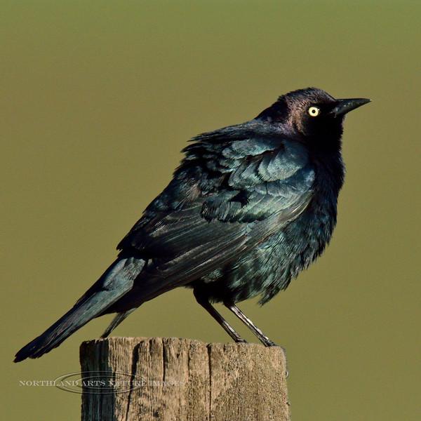 Blackbird, Brewer's. Camas Prairie, Idaho. #514.651.