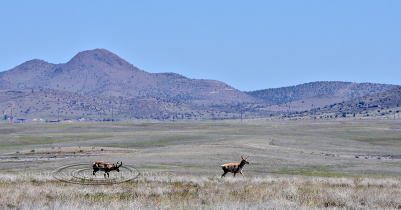 A Pronghorn Antelope buck and doe on the prairie in front of Mingus Mountain Arizona. 2020.4.23#0256.4.