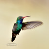 Hummingbird, Broad-billed. Patagonia, Arizona. #321.1388.