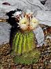 The Torch Cactus 2018.5.14#016. Trichocereus grandiflorus.  Prescott Valley, Yavapai County Aizona.