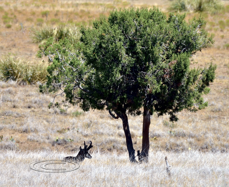 A Pronghorn buck. 2019.8.21#010. Hanging in the shade. It was 101 degrees when I found this antelope. Mingus foothills, Yavapai County Arizona.