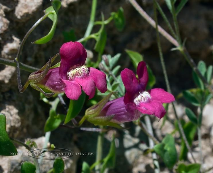 Twining Snapdragon. 2020.4.9#7095.3. Maurandya antirrhiniflora. Mingus Mountain a little south west of Clarkdale Arizona.