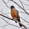 Robin, American. Yavapai County, Arizona. #1223.028.