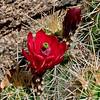 A Scarlet Hedgehog 2016.4.25.8. Echinocereus coccineus. In the Granite Dells, Yavapai County Arizona.