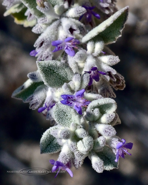 Desert Lavender 2020.4.21#8061.4. Hyptis emoryi. In the Newberry Mountains of Nevada.