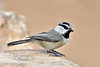 Chickadee, Mountain. Coconino County, Arizona. #1129.818.