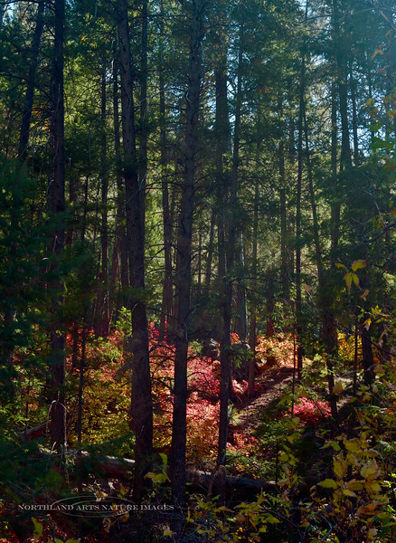 The colors of Oak, Maple, Pine and Fir. 2019.10.15#170.3. Oak Creek Canyon Arizona.