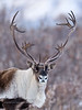 Caribou, Barren Ground. Eastern Alaska Range, Alaska. #104.232. See Large Mammal Gallery for more images.