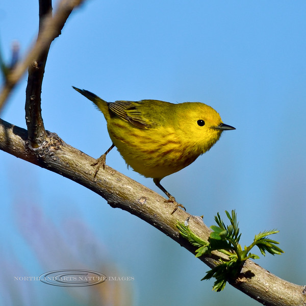 A handsome male Yellow Warbler. 2021.5.9#2629.4. A spring migrating visiter in Prescott Valley, Arizona.