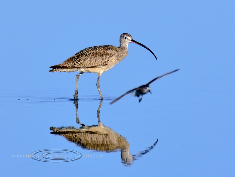 Long-billed Curlew. 2019.7.20#1385. The Long-billed Curlew has been one of the most challenging species for me to hook up with. This day certainly broke my jinx. There were lots of birds and although the light was harsh I got some fairly decent images. Cochise Lake, Wilcox Arizona.