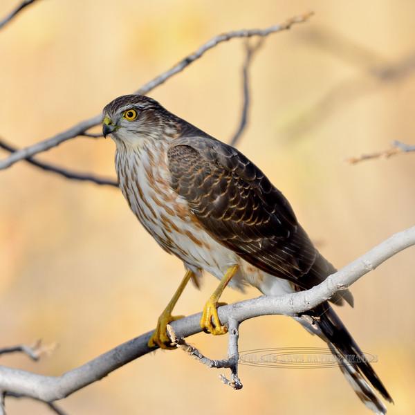 Raptors & allies-Hawk, Sharp-shinned, first year juvenile. Yavapai County, Arizona. #1118.135.
