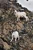 Sheep, Dall. A ram follows a ewe even though the estrus has ended. South Central, Alaska. #1216.085. 2x3 ratio format.