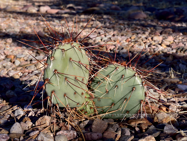 The Brown Spiine Prickly Pear Cactus 2018.3.28#006. Opuntia phaeacantha. Prescott Valley, Yavapai County Arizona.