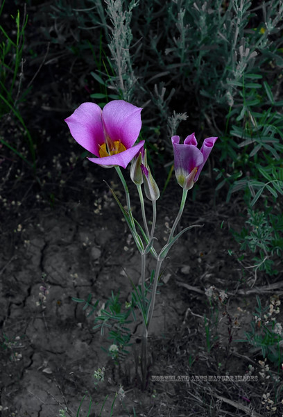 Sego Mariposa lilly, Calochortus nuttallii 2019.6.19#956. Shown here in an less common deep pinkish lavender color rather then the normal white.  The State flower of Utah. Route191, North of Vernal Utah.