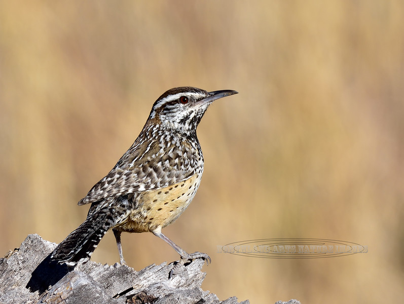 Cactus Wren 2018.3.19#040. The Mantch Ranch near Hereford, Arizona.