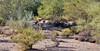 Jackrabbit, Black tailed. Pinal County, Arizona. #1213,016.