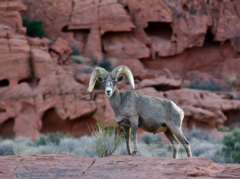 2021.4.22#6581.4. An older real nice Desert Bighorn ram moving about before the sun has come up.