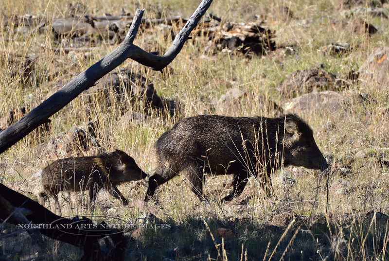 Javelina sow and young 2018.10.9#1486. Yavapai County Arizona.