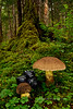 The Conifer Bolete 2014.8.18#083.2. Boletus coniferarum in a coastal hemlock forest. Turnagain Arm, Alaska. Captured with my trusty all manual 28mm architectural lens. See the Mushroom & Lichen Gallery for more images.