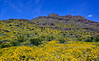 2020.3.29#9238.3. A Desert Scape, mostly Brittlebush and Teddy Bear Cholla. Old Route 66 near Oatman Arizona.