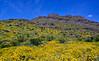 2020.3.29#9238.3. A Desert Scape, mostly Brittlebush and Teddy Bear Cholla. Old Route 66 near Oatman Arizona.