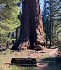 2021.6.21#0968.2. A different view of the General Grant tree,  Sequoiadendron giganteum. At chest level the Grant tree has the greatest circumference of any tree on earth. Grant's Grove, King's Canyon Nat. Park, California.