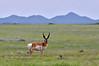 A buck Antelope pausing to get a look. 2020.4.30#1387.3. Yavapai County Arizona.